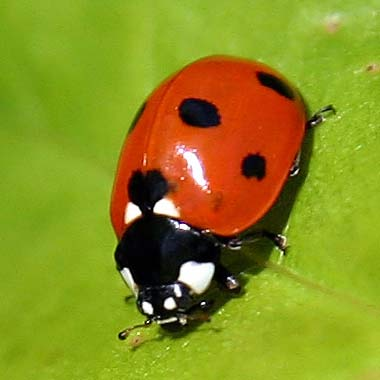 ladybug-in-tennessee-1